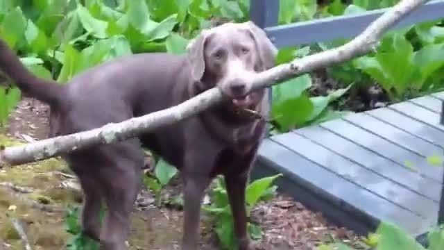 تفکر جالب سگ برای عبور چوب