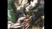 تولید تانن از ضایعات پسته