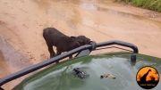 فرار شیر از بوفالو مادر