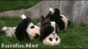 شیر خوردن بچه پاندا ها ( بانمک )