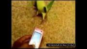 بریک دنس زیبای طوطی ملنگو تربیت شده ی sam james