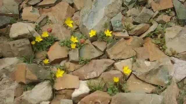 گلهای زیبا در کوهستان کویری