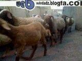 بازگشت گوسفندان به خانه ...
