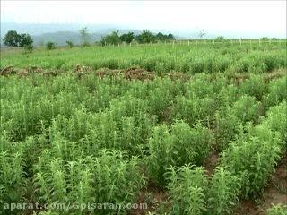 آموزش نحوه صحیح برداشت گیاه استویا