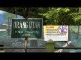اورانگوتانی که برای ترک سیگار به بازپروری فرستاده شد!