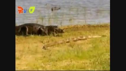 نبرد خشن مار و تمساح