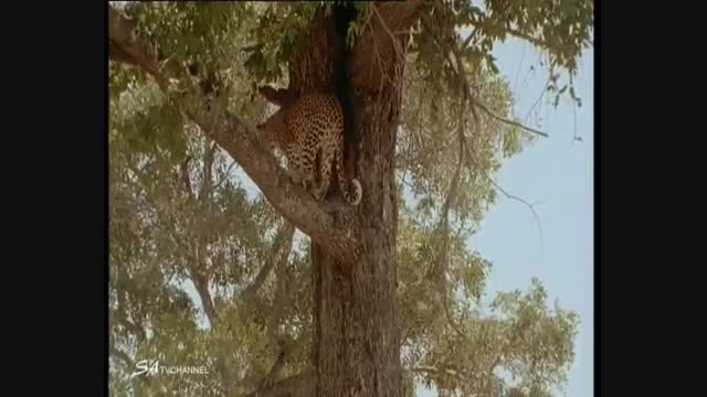نادرترین صحنه شکار توسط پلنگ