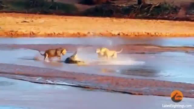 نزاع کروکودیل و سه شیر در پارک ملی کنیا