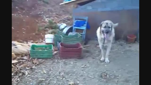 دعوای سگ های قفقازی و سرابی