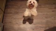 رقصیدن توله سگها (Harlem Shake)