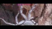جالوت پرنده خوار بزرگترین عنکبوت جهان