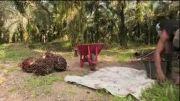 مراحل تولید روغن پالم ( اندونزی)