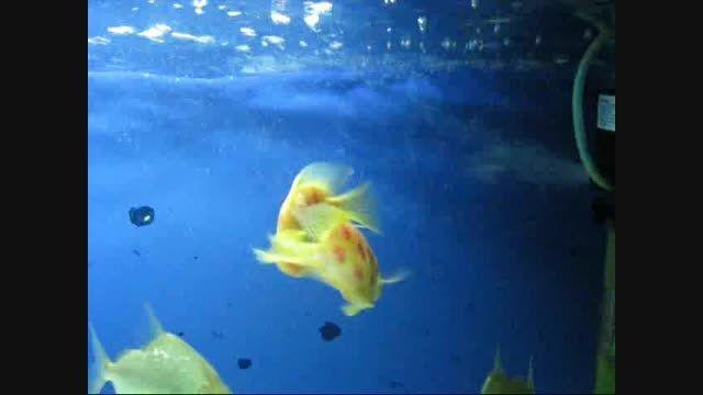 ماهیان عاشق می شوند