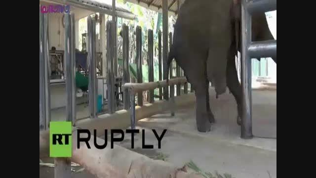 پای مصنوعی برای آقا فیل معلول+فیلم ویدئو کلیپ جالب جدید