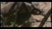 مبارزه اژدهای کومودو با اژدهای کومودو