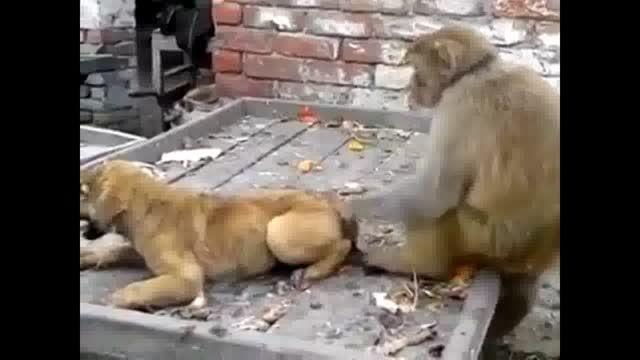 میمون مردم آزار در حقیقت سگ آزار