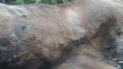تلف شدن خرس به خاطر خوردن سم در کوه های جلده باخان