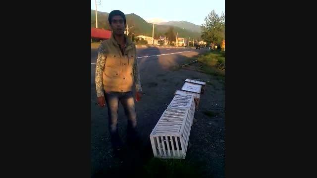 رها سازی کبوتران  کلوپ کبوتران مسافتی آزادشهر از رامسر