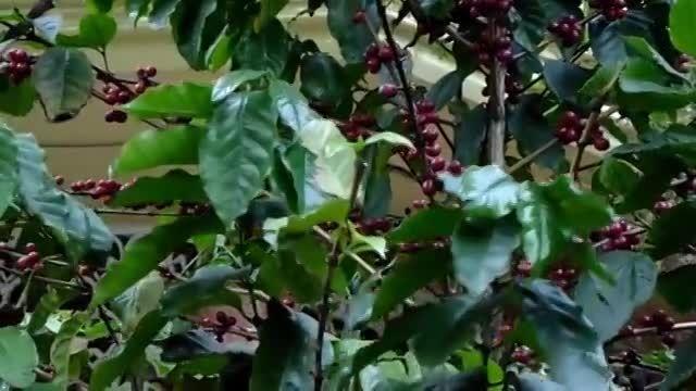 درختان قهوه در برزیل-coffee tree