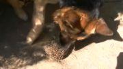 سگ vs جوجه تیغی