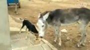 جنگ خر و سگ به خاطر غذا ( آخر خندس حتماً نگاه کنین )