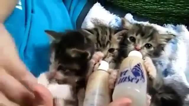 شیر خوردن بچه گربه ها با شیشه شیر واقعا جالب و دیدنیییی
