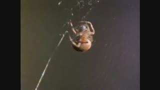 وقتی به «عنکبـوت» ماده مخدر قوی داده شود