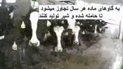 زاز پشت صحنه محصولات حیوانی و نحوه نگهداری گاو ها