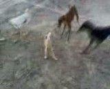 حمله سگها به گربه حتما ببینید.از صباح