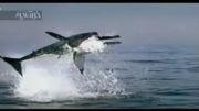 فیلم دیدنی از لحظه شکار کوسه سفید
