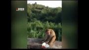 ترساندن میمون با مواد محترقه