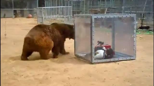 ملاقات این خانم با خرس گریزلی از نزدیک ترین فاصله
