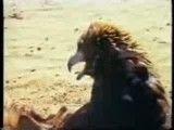 عقاب شكاری ( نحوه شكار عقاب دست آموز )