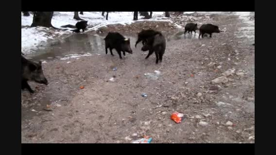 خوک ها ی جنگل گلستان