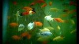 رقص زیبا و دیدنی ماهی ها در آکواریوم