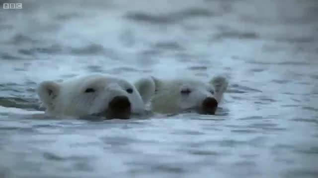 غذای مفت و مجانی برای خرس های قطبی :)
