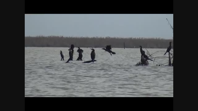 پرندگان مهاجر در تالاب انزلی