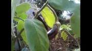 بادمجان کوچک حیاط ما