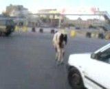 فرار گاو در کلان شهر اهواز