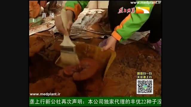 تولید گلخانه ای قارچ دارویی گنودرما در چین