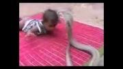 خطرناکترین مار جهان در برابر کودک چند ماهه!!!!!