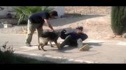 آموزش و تربیت سگ گارد حمله و دستگیری مجرم
