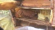 برداشت عسل طبیعی از یک کندوی طبیعی در یک خانه قدیمی