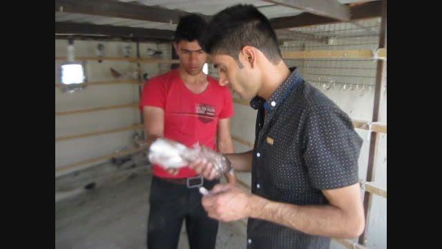 کبوتربوم موحد-تهران
