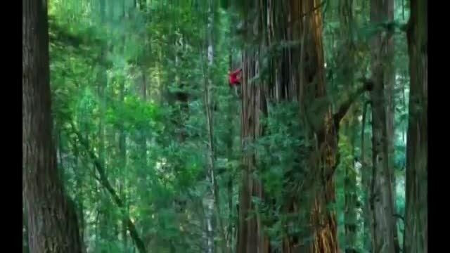 بلندترین درخت جهان ......