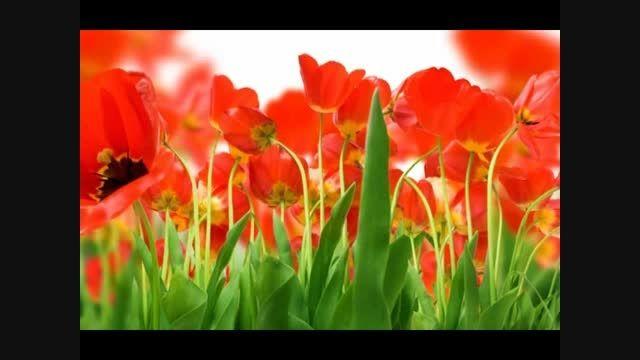 غزل 390- افسر سلطان گل پیدا شد از طرف چمن