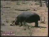 نجات آهو توسط اسب آبی از چنگال تمساح !