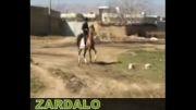 اسب دره شور زردآلو