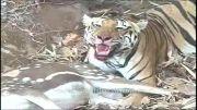 ببر بنگال و شکار گوزن