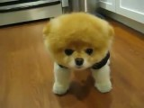 معروف ترین سگ دنیا Boo
